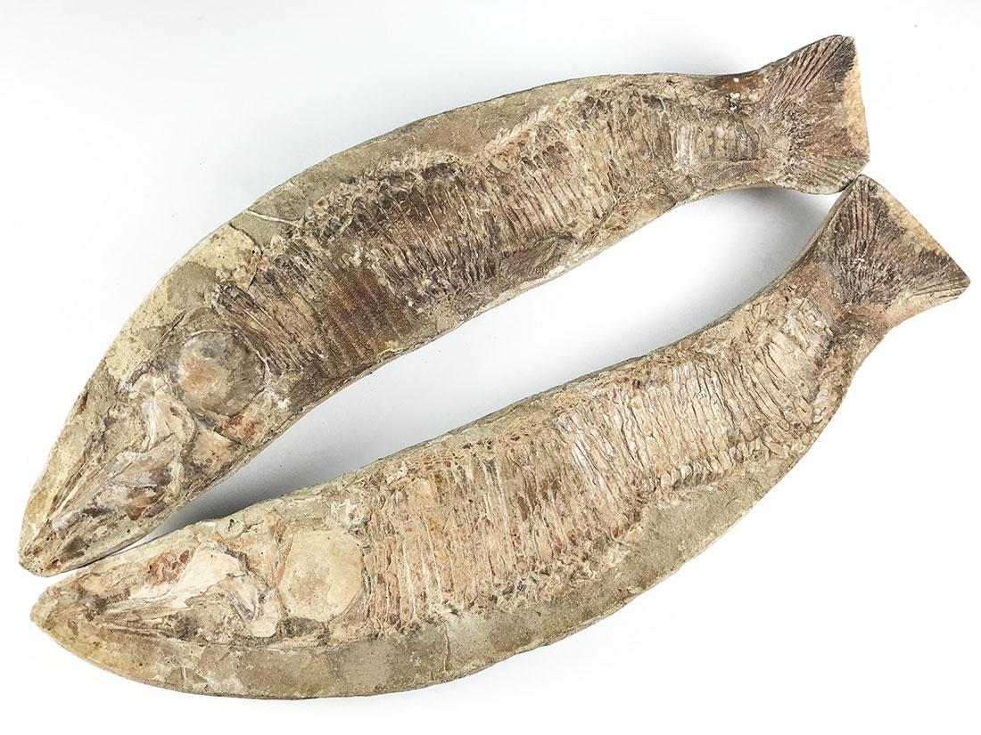 魚化石ペア